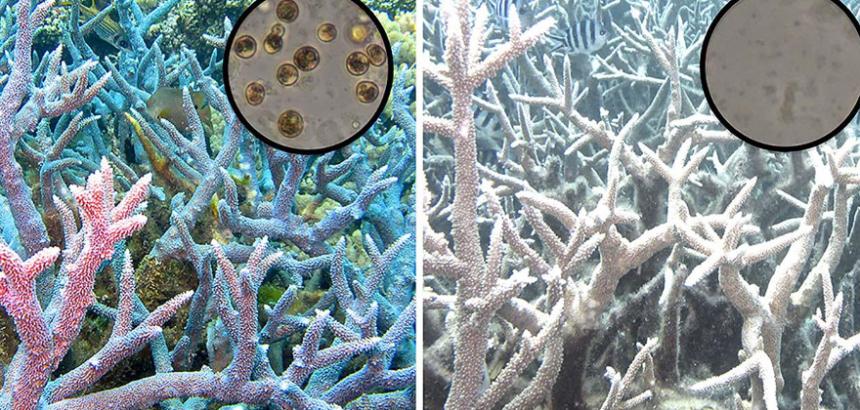 Blanchiment : 2018, année internationale des récifs coralliens