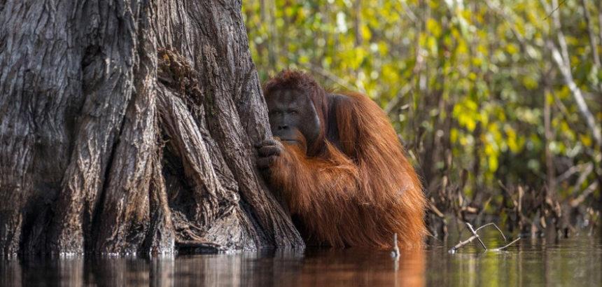 Orang-outans : les nouveaux réfugiers chassés par l'huile de palme