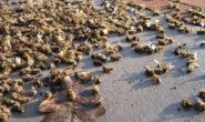 Les Néonics, ces tueurs d'abeilles toujours autorisés à Madagascar